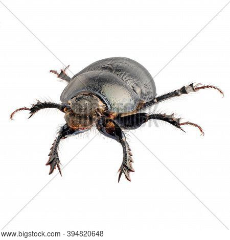 Dung Beetle Isolated On A White Background, Large Depth Of Field, High-resolution Photo Of The Beetl