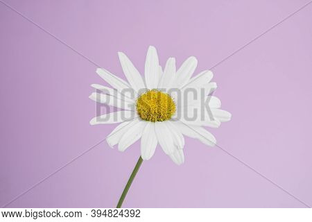 Side View Of A Single Flower Of Medicinal Chamomile On A Delicate Pink Background