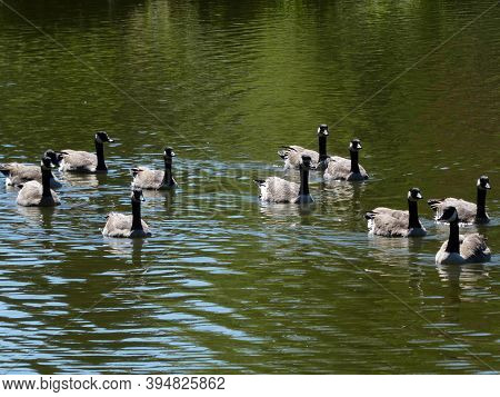 The Geese Flock Swimming On Water Surface