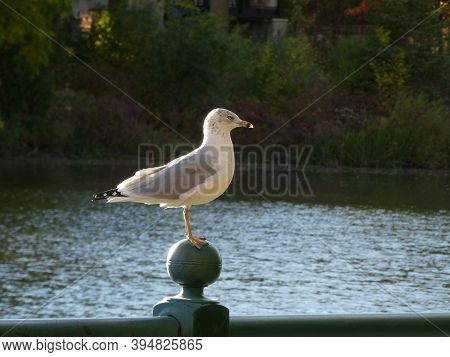 Seagull Sitting On The Fence Above The River