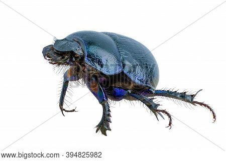 Insect, Scarab Beetle Blue Isolated On White Background, Close-up Photo, High Resolution, Legendary