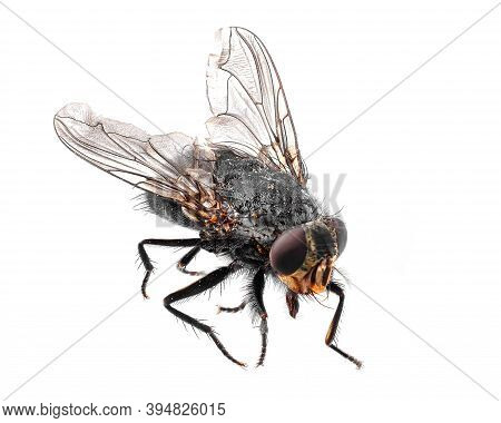 Common Fly Isolated On A White Background, The Fly Is A Carrier Of Diseases And Dirt.