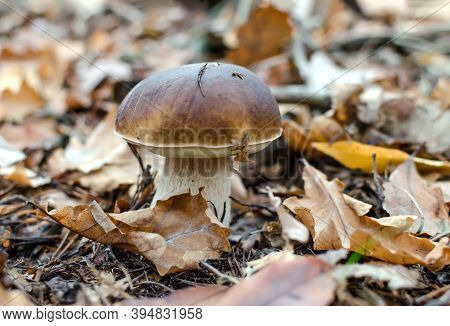 Edible Mushroom, White With A Brown Cap Growing In The Forest, Close-up