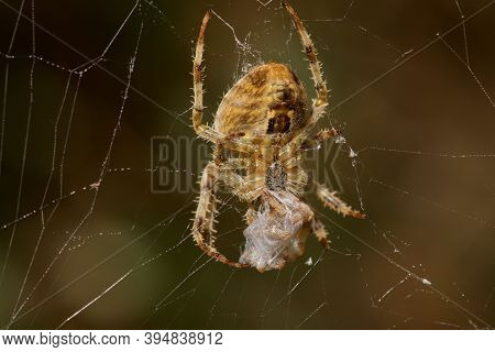 Female Cross Orb Weaver Spider Wraps A Male Orb Spider In Silk While In Her Web, Vancouver Island, B