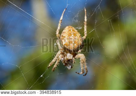 Female Cross Orb Weaver Spider Hangs From Her Web While Wrapping Another Spider In Silk, Vancouver I