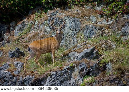 Blacktailed-deer Buck With Velvet Covered Antlers Stands On Rocks Of Steep Shore On Island Off West