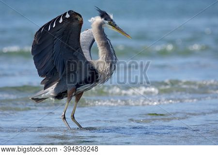 Great Blue Heron Strikes A Pose With Its Feathers Fluffed Up And Wings Spread, Whitty's Lagoon, Vanc