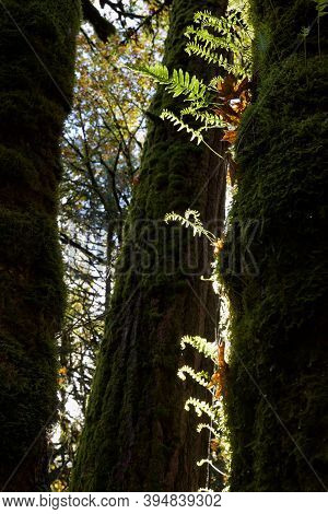 Licorice Ferns Grow On Moss Covered Trunk Of Big Leaf Maple Tree, Douglas Fir Behind, Goldstream Pro