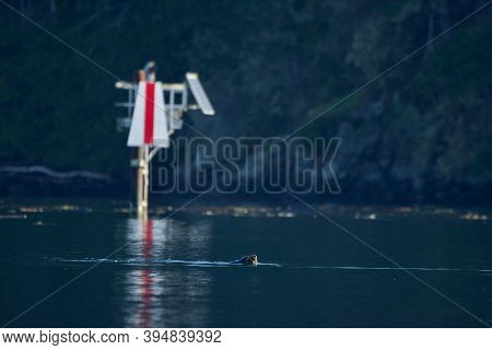 California Sea Lion Surfaces To Take A Breath Near A Navigational Marker, Sooke Harbour,  Vancouver
