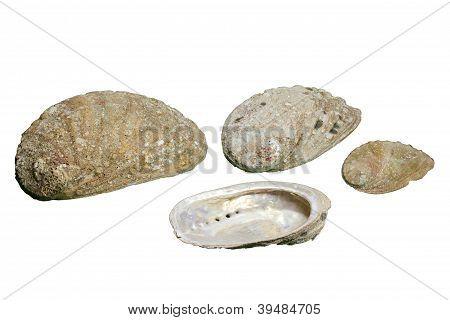 Seashells (Haliotis tuberculata) isolated on white background