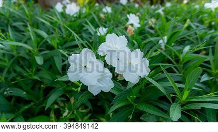 Bunches Of White Petals Ruellia Tuberosa Flowering Plant Blooming On Greenery Leaves In Garden