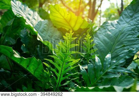 Fresh Green Young Leaf The Wart Fern Of Hawaii Spreading To Sunlight On Succulent Greenery Leaves Bl