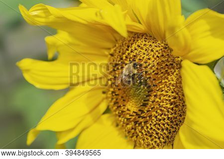 Beautiful Bright Yellow Sunflower With Bumblebeeunder Bright Sunlight With Yellow Petals And Green L