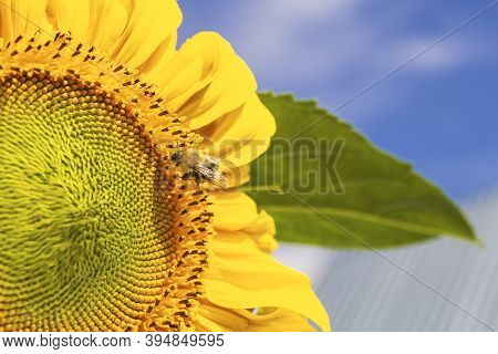 Beautiful Bright Yellow Sunflower With Bumblebee Under The Summer Blue Sky With Clouds Under Bright