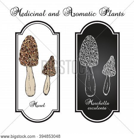Morel Morchella Esculenta , Edible Mushroom. Hand Drawn Botanical Vector Illustration