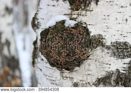 Chaga (inonotus Obliquus) Is A Fungus From The Hymenochaetaceae Family. Potential Medicine For Coron