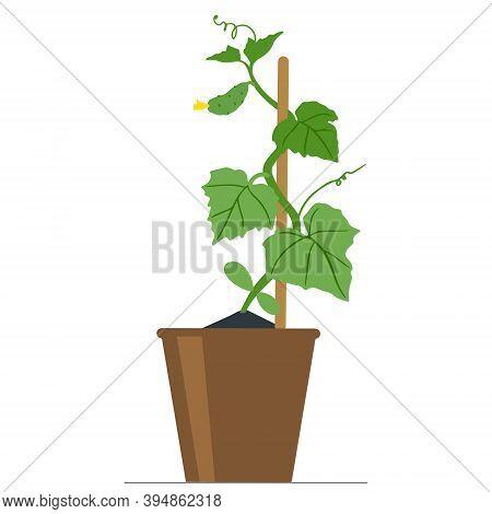 Cucumber Seedlings In A Flower Pot. Gardening.