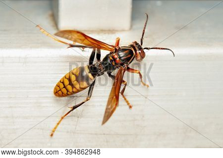 Close-up Of Asian Giant Hornet Or Japanese Giant Hornet (vespa Mandarinia Japonica). In Japanese It