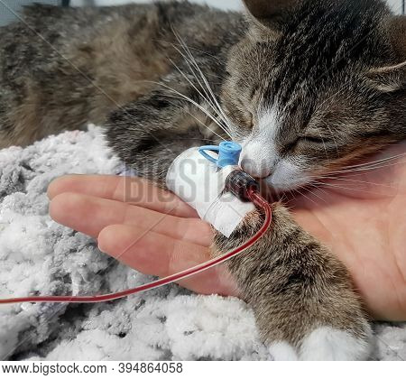 Close Up.sick Cat With A Catheter In His Paw