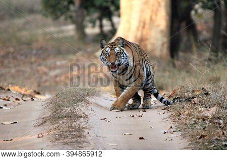 Bengal Tiger (panthera Tigris Tigris) On Dirt Road, Showing Teeth. Bandhavgarh, India