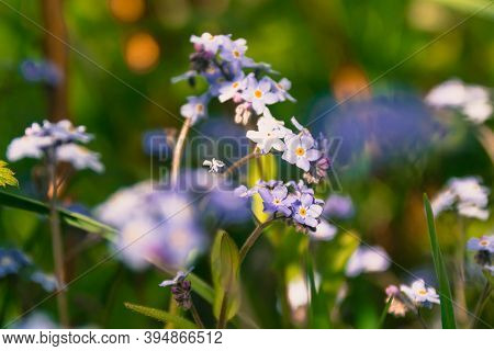 Blue Forget-me-nots. Brown Tinted Glass. Meadow With Flowers In Summer Or Spring.