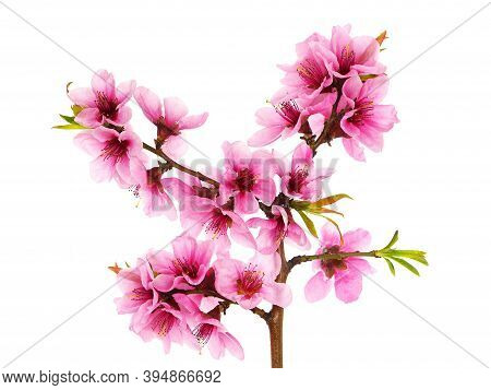 Branch Of Peach Tree With Pink Flowers And Green Leaves Isolated On White