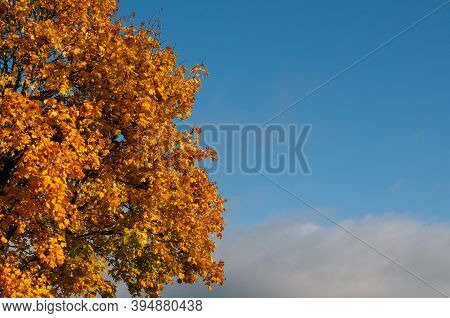 Branches Of A Maple Tree In Autumn With Colorful Leaves On Blue Sky