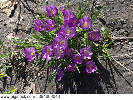 Purple Crocuses With Green Leaves, Top View