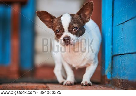 Chihuahua Puppy, Little Dog Near House Porch. Cute Small Doggy On Grass. Short Haired Chihuahua Bree