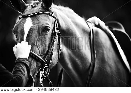 A Black-and-white Image Of A Horse In Sports Equipment-it Is Wearing A Saddle, Bridle And Snaffle, A