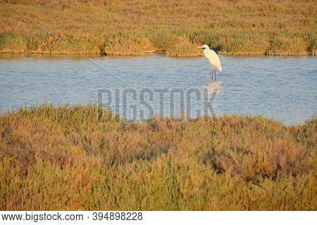 Great White Egret Ardea Alba At Estuary.great White Heron At Wildlife Preserve