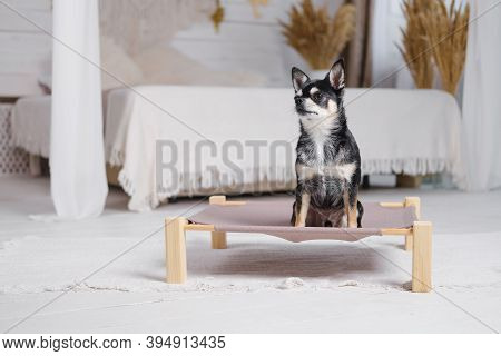 Cute Little Chihuahua On A Dog Bed In Boho Decorated Bedroom. Pets At Home, Small Dogs, Domestic Ani