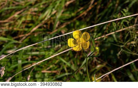 Meadow Buttercup Or Tall Buttercup Or Common Buttercup Or Giant Buttercup Ranunculus Acris Yellow Fl