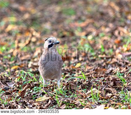 Forest Bird Jay In The City Park. Concept Of Wildlife In An Urban Environment.