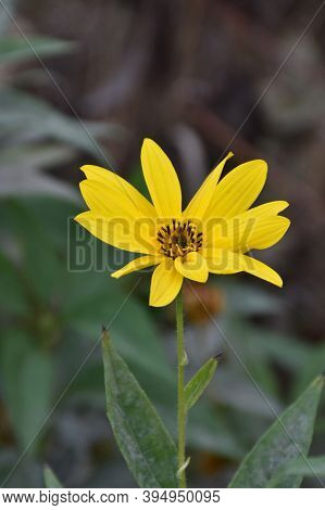 Autumn Flower Of Jerusalem Artichoke With Yellow Petals