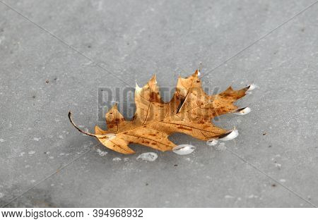 Fallen Leaf Frozen On The Ice In Lake Surface