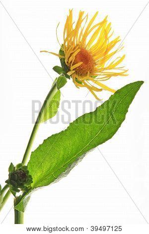 Elecampane (Inula helenium)
