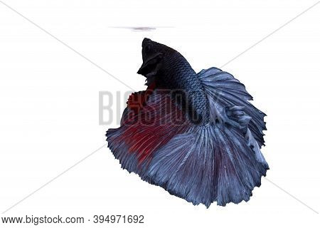 Betta Fish Or Fighting Fish Moving Moment Of Colourful Half Moon Tail Isolated On White Background