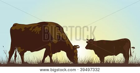 grazing cattle in the morning