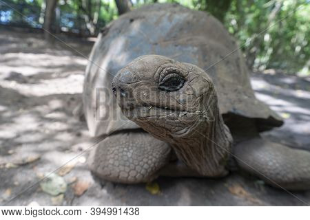 A Giant Tortoise Aldabrachelys Gigantea In The Forest Reserve, At Prison Island, Zanzibar, Tanzania
