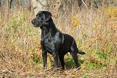 black labrador retriever in the woods in the autumn season poster