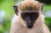 A monkey in Santo Antao Cape Verde stares at the camera poster