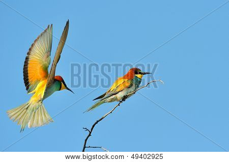 european bee-eaters (Merops Apiaster) outdoor