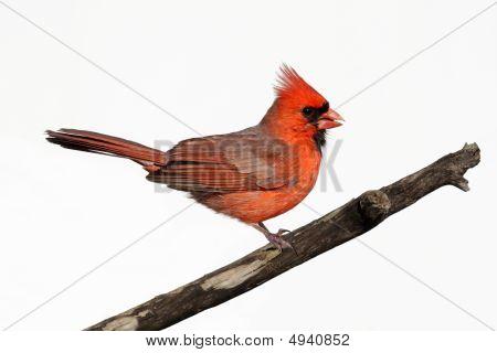 Isolated Cardinal On A Stump