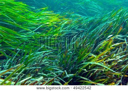 underwater image of aquatic plants and fishes
