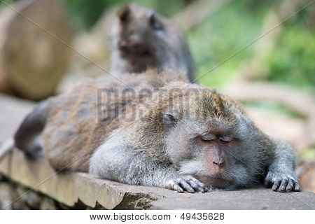 Grooming of resting or sleeping wild big monkey leader with close eyes poster