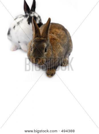 2 Bunnies, One Looking At Camera