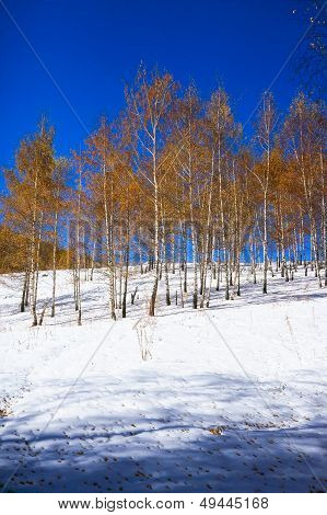 Birchwood in the winter, with yellow leaves on white snow