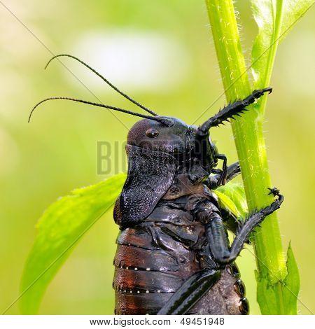 big-bellied cricket (Bradiphorus Dasiphus) poster