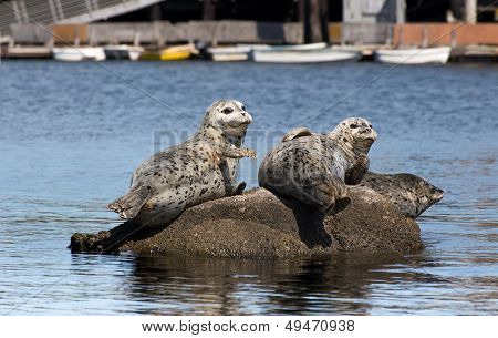 Harbor Seals at Rest on Rocks in Monterey Bay California poster